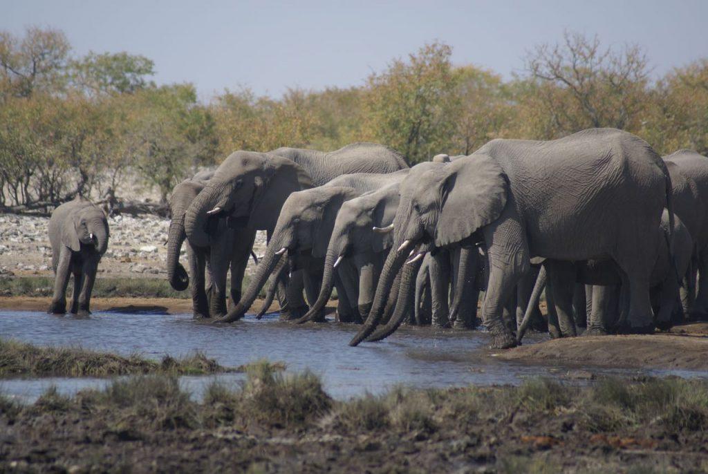 Olifanten Namibië