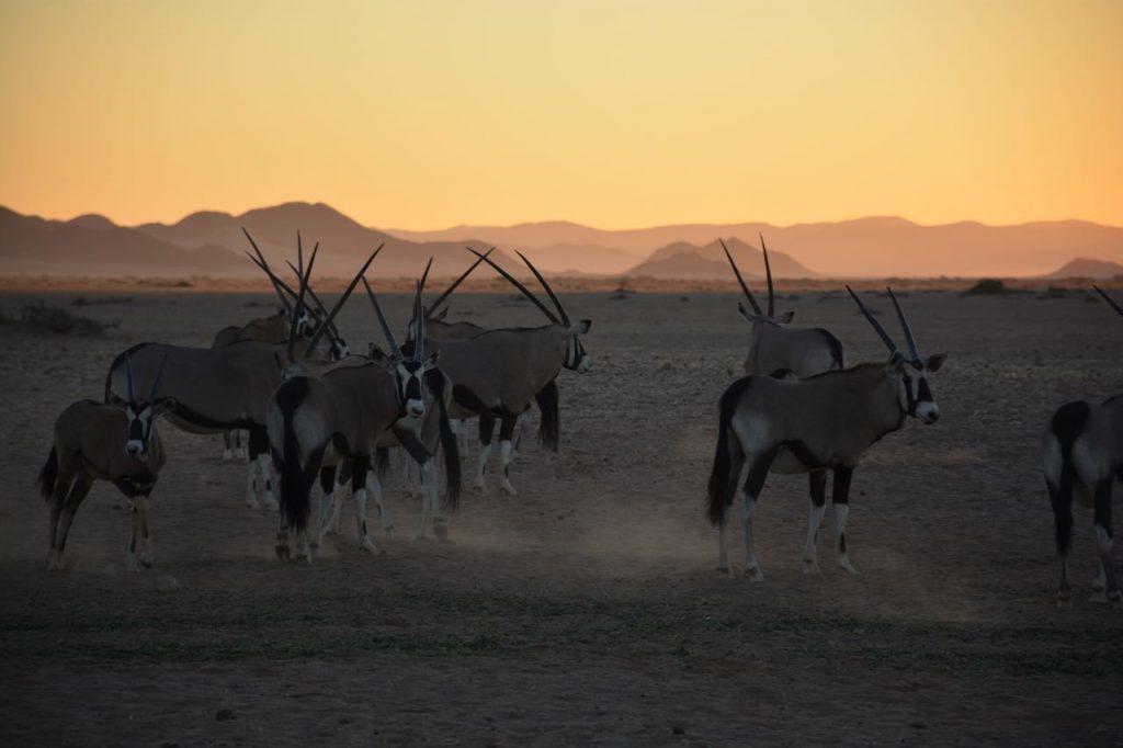 Oryxen tijdens de zonsondergang