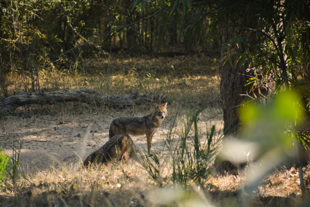 Bandhavgarh National Park Safari